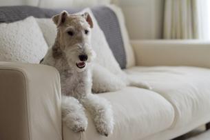 ソファに座るワイヤー・フォックス・テリアの写真素材 [FYI00324461]