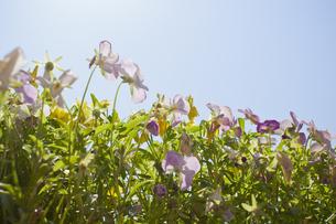 ビオラの花壇の写真素材 [FYI00324508]