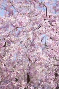桃色の桜の写真素材 [FYI00324555]