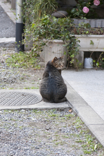 振り返る猫の写真素材 [FYI00324562]