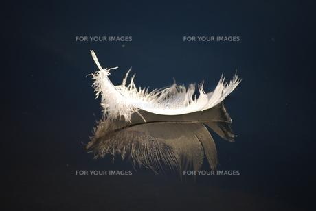 水面に浮かぶ羽根の素材 [FYI00324666]