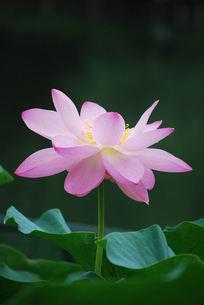 蓮の花の写真素材 [FYI00324697]