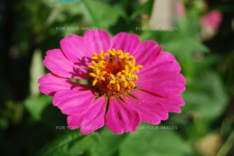 花冠の花の写真素材 [FYI00324866]