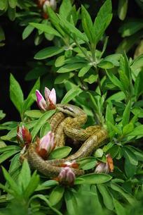 シマヘビの日向ぼっこの写真素材 [FYI00324912]