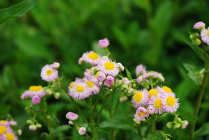 ハルジョオン(春紫苑)の写真素材 [FYI00324938]