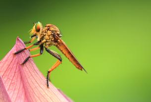 蓮の花とアブの写真素材 [FYI00325040]