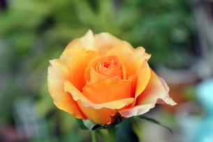 オレンジ色のバラの素材 [FYI00325099]