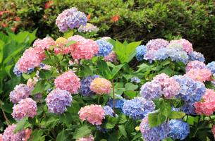カラフルな紫陽花の写真素材 [FYI00325112]