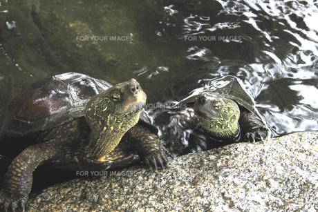 亀の会話の素材 [FYI00325124]