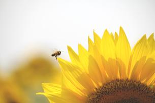 ヒマワリとミツバチの素材 [FYI00325126]