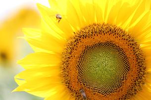ミツバチとヒマワリの素材 [FYI00325165]