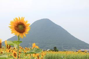 ヒマワリと讃岐富士の素材 [FYI00325166]