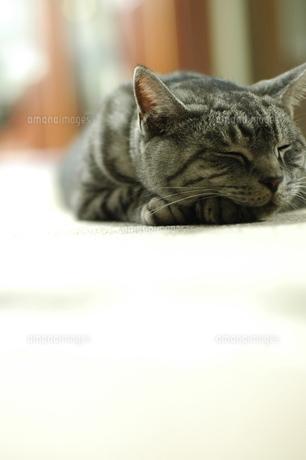 昼寝する猫の写真素材 [FYI00325255]