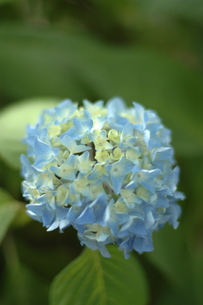 紫陽花の写真素材 [FYI00325265]