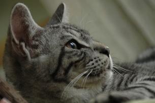 外を見る猫の写真素材 [FYI00325267]