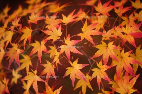 紅葉の絨毯の写真素材 [FYI00325294]