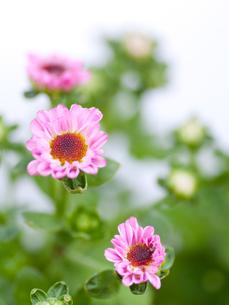 小菊の写真素材 [FYI00325423]
