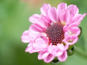 小菊と水滴の写真素材 [FYI00325429]