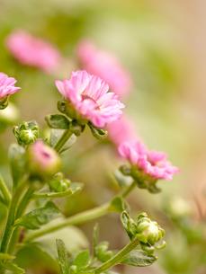 小菊の写真素材 [FYI00325432]