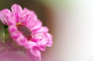小菊と水滴の写真素材 [FYI00325437]