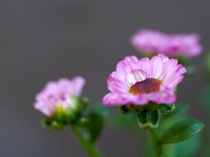 小菊と水滴の写真素材 [FYI00325438]