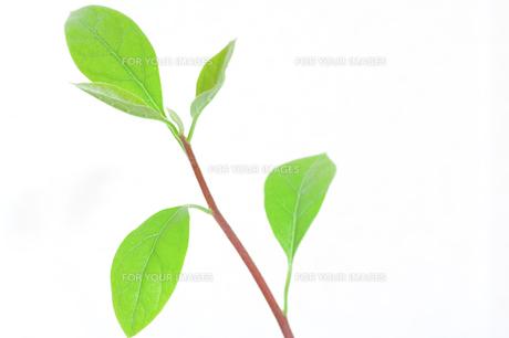 アボガドの新芽の写真素材 [FYI00325465]