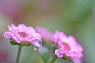 小菊と水滴の写真素材 [FYI00325470]