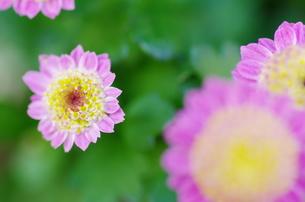 小菊の写真素材 [FYI00325486]