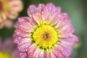水滴と小菊の写真素材 [FYI00325533]