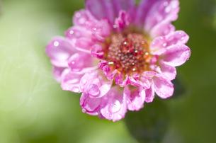 花びらと水滴の写真素材 [FYI00325537]