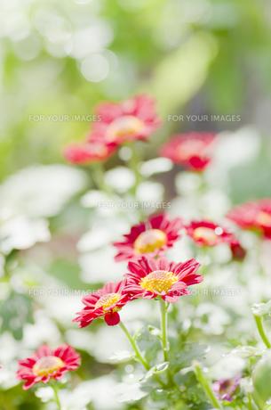小菊の開花の素材 [FYI00325539]
