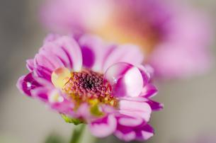 水滴と小菊の写真素材 [FYI00325544]
