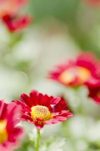 小菊の開花の写真素材 [FYI00325547]