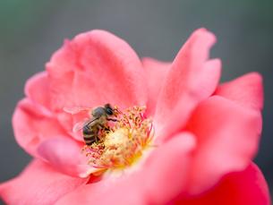 ミツバチとバラの写真素材 [FYI00325553]