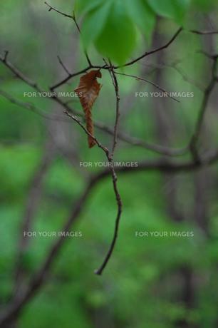枝の素材 [FYI00325677]