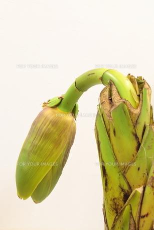 バナナの花の写真素材 [FYI00325691]