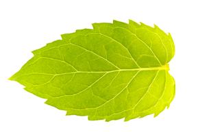 ミントの葉の写真素材 [FYI00326700]