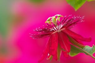 赤花時計草の写真素材 [FYI00326990]