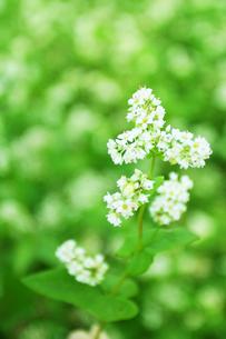 そばの花の写真素材 [FYI00327647]
