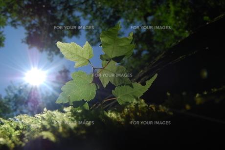 木漏れ日に新芽の写真素材 [FYI00327668]