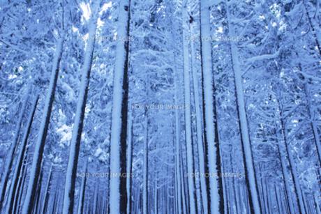 雪の杉林の写真素材 [FYI00327688]