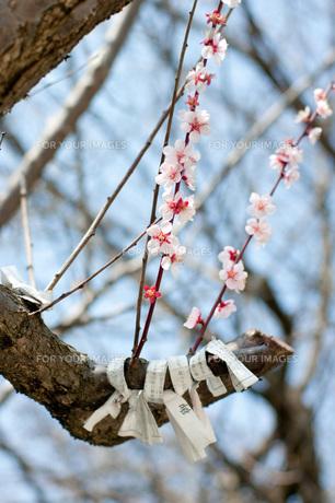 桜とおみくじの素材 [FYI00327740]