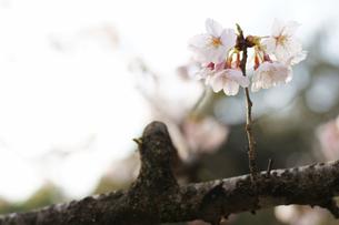 桜の開花の素材 [FYI00327764]