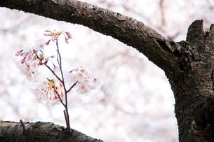 桜の枝の素材 [FYI00327765]