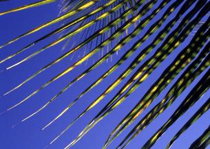 青と椰子の葉の素材 [FYI00327952]