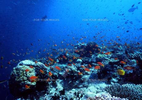 サンゴ礁の素材 [FYI00327965]