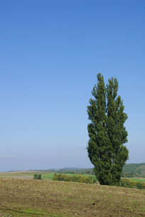 丘陵のポプラの木の写真素材 [FYI00328109]