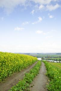 菜の花畑の道の写真素材 [FYI00328111]