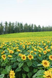丘のひまわりと菜の花畑の写真素材 [FYI00328112]
