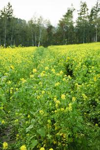 丘陵地帯の菜の花畑の写真素材 [FYI00328118]